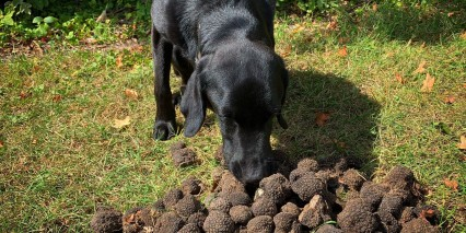 Truffle Dog
