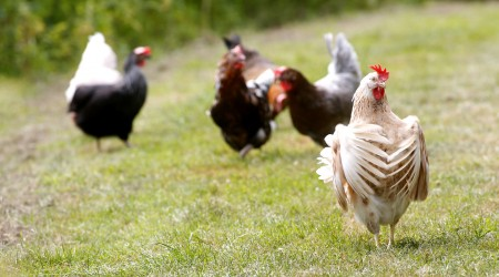 Beautiful Picture Of Elegant Brown And White Hen With Seven Other Hens In Background On Grassy Path 10