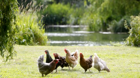 Six Clarence Court Hens On Field With Pretty Background But Maybe Water Looks Too Close 2