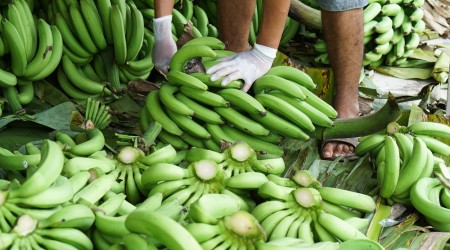 Picking Banana