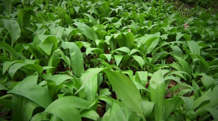 Wild Garlic On Mass Spring1